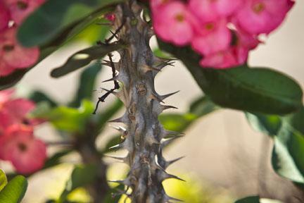 Thorny Blossom