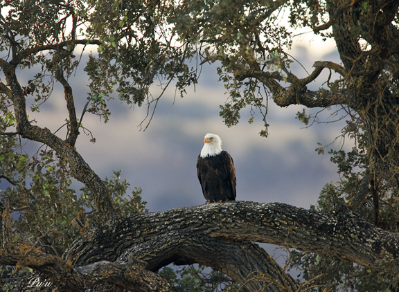 Bald Eagle: Unlikely Place and Season.