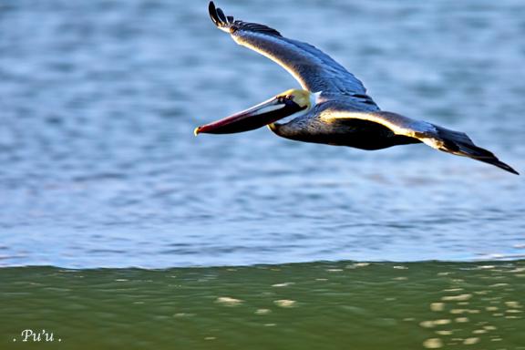 Brown Pelican Dino